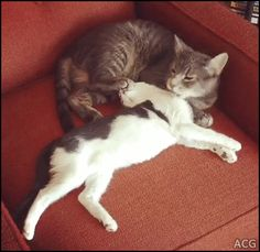 ACG • Cat grooms Kitten in extremely humorous manner with a firm foot on the chin.