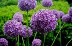 Образует нежные одиночные цветки разных расцветок.