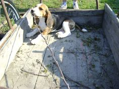 beagle   oz_design  beagle puppy is gardening Beagle Puppy, Labrador Retriever, Gardening, Puppies, Stock Photos, Dogs, Pictures, Animals, Image