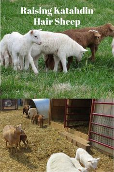 Learn how you can put your herd of sheep to use by letting your sheep loose to eat grasses to help tame an unruly yard. Sheep Farm, Sheep And Lamb, Pet Sheep, Tiger Cubs, Tiger Tiger, Bengal Tiger, Katahdin Sheep, Sheep Shelter, Raising Farm Animals