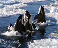 """Orcas, the most beautiful, badass creatures in the ocean...and are often referred to as """"The Wolves of the Sea"""" because of their hunting style!"""