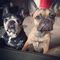 French Bulldogs, what Faces ; )