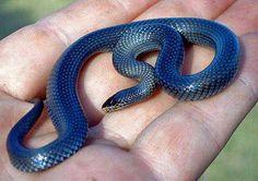 Lycophidion semicinctum - Pygmy Wolf Snake