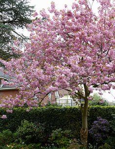 Rusokirsikka - Viherpeukalot Small Trees, Large Flowers, Climbers, Garden Inspiration, Garden Ideas, Dream Garden, Pastel Colors, Beautiful Gardens, Garden Plants