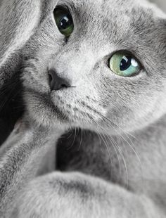 russian+blue | Gray And White Kitten With Blue Eyes Hd Russian Blue Cat With Green ...