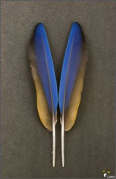 Catalina Macaw feathers (navy + cobalt + black + gold)