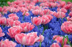 #Tulip#Keukenhof #Netherlands #Travel