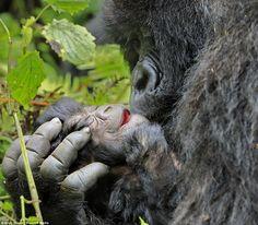 Como os gorilas da montanha do Ruanda tentam lutar contra as várias ameaças de extinção.
