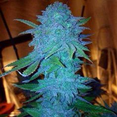 Blue dream.... #Cannabis Blue Dream is known for energy for the heart chakra
