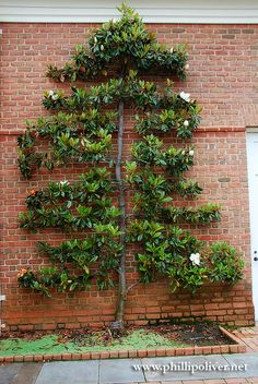 Espalier Magnolia Trees   Walking through the visitor's center and exiting out the back, you ...