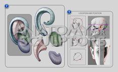 anatomy 4 sculptors - Google 搜尋
