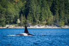 Orca near Campbell River, BC. | pinned by haw-creek.com