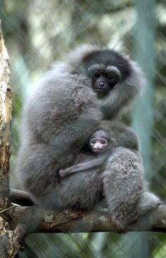 A Silvery Gibbon holds her two-week-old baby at the Bali Zoo in Gianyar, Bali
