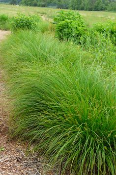 Carex vulpinoidea (Fox Sedge) - 1'-3' tall - full sun - blooms May to June