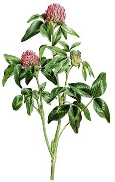 Red clover- love the muted colors. Thought to have hummingbird feeding from it Clover Tattoos, Fox Painting, Vintage Botanical Prints, Egyptian Art, Real Flowers, Muted Colors, Ink Art, Botanical Illustration, Vintage Flowers