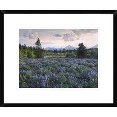 Global Gallery Lupine Meadow, Grand Teton National Park, Wyoming by Tim Fitzharris Framed Photographic Print Size: