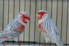 Mosaic canary