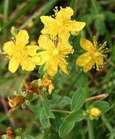 How to  Grow St. Johns Wort (and why you should)