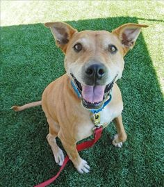 Daisy is awesome -- and she's available for adoption!  www.hssv.org