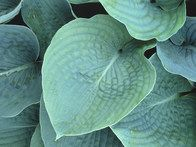 Hosta sieboldiana Elegans is a large hosta with deep, smoky blue, slightly frosted heart shaped foliage. Deep veins give the leaves a corrugated look. White flowers bloom in early spring.