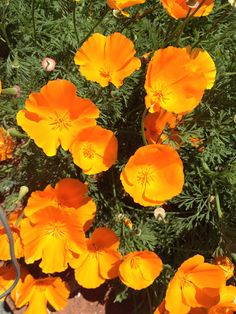 Yellow poppies meaning google search poppies pinterest mightylinksfo