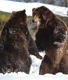 Two grizzly bears are seen playing in the snow at New York City's Bronx Zoo after a weekend of heavy snowfall in the Northeast.