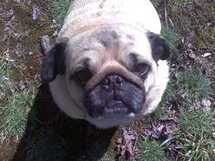 valentine pug | Whole Pug Gang Valentine's Day 2013 by Pugs and Kisses | Fun Quotes | Pinterest ...