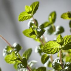 A mint plant provides numerous leaves to dry for various uses.