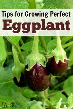 How to Grow Eggplant in your garden - Gardening Tips on how to plant eggplant seeds and seedlings, how to care for eggplant seedlings, and how to harvest eggplant.