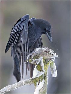 beautiful crow <3