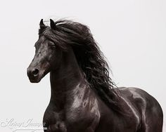 The Friesian by Carol Walker, a Friesian stallion in California  www.LivingImagesCJW.com