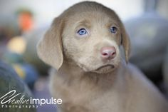 Chocolate Lab Puppies With Blue Eyes | Lab Puppies with Blue Eyes