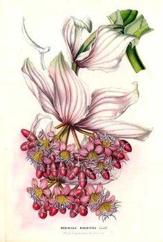 Melastomataceae - Medinilla magnifica. From: Flore des serres et des jardins de l'Europe by Charles Lemaire and others.