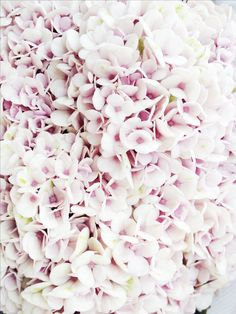 white blooms with a touch of pink