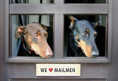 Dobermans love mailmen  Bru-hahahahahahaha!!!!!  Yes, and UPS, FedEx, garbage truck, law service..... The list goes on and on.