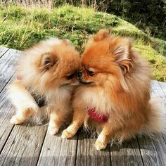 #pomeranian #cute #dog