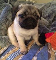 Picture of a beautiful pug puppy.