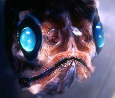 El ojo del buitre: Pez-víbora (Chaulodius sloanes)