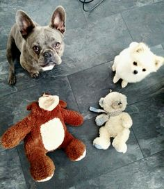 Französische Bulldogge, blue frenchie, French bulldog, Fay, Hund, dog, teddy