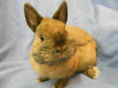 Meet Cliffton, an adoptable Netherland Dwarf looking for a forever home. If you're looking for a new pet to adopt or want information on how to get involved with adoptable pets, Petfinder.com is a great resource.