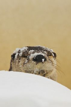 Otter's been having a good time in the snow - November 4, 2012