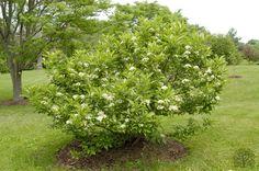 Viburnum sieboldii 'Seneca' in flower early in summer.  Notice the habit of this viburnum is wide-rounded.
