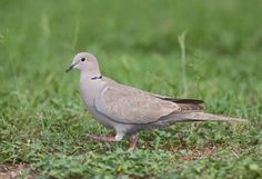 Eurasian Collared Doves expanded their range from the Middle East all the way across Europe and were introduced accidentally into the Bahamas in 1974. They soon spread to the Florida mainland and the species is now common across much of North America, as far northwest as Oregon and Washington. They have not yet penetrated the northeastern states, aside from a few records of strays.