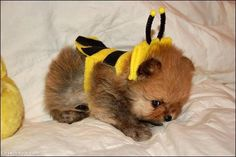 Puppy or Bumble Bee? cute animals dog puppy pets costume bee bumble bee
