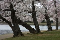 The cherry trees of Washington DC arch over the walk along the Tidal Basin by the Jefferson Memorial.  What a beautiful walk we are priviledged to enjoy.