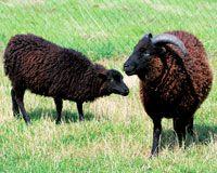 """Mouton d'Ouessant: des moutons """"nains"""" . Une race menacée."""