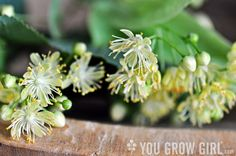 "foraging for linden flowers ""for a sweet honey-like herbal tisane"""