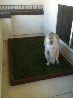 doggy and the city large dog litter box with real grass used by this big labrador see more at. Black Bedroom Furniture Sets. Home Design Ideas