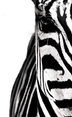 Black and white, part of a zebra Nærbilde av sebra. www.sebraskinn.no Curated for you by prolabdigital.com