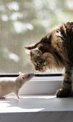 480x800 Wallpaper cat, rat, window sill, familiarity